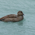 Common Eider Duck