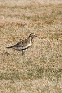 Thingvellir Golden Plover