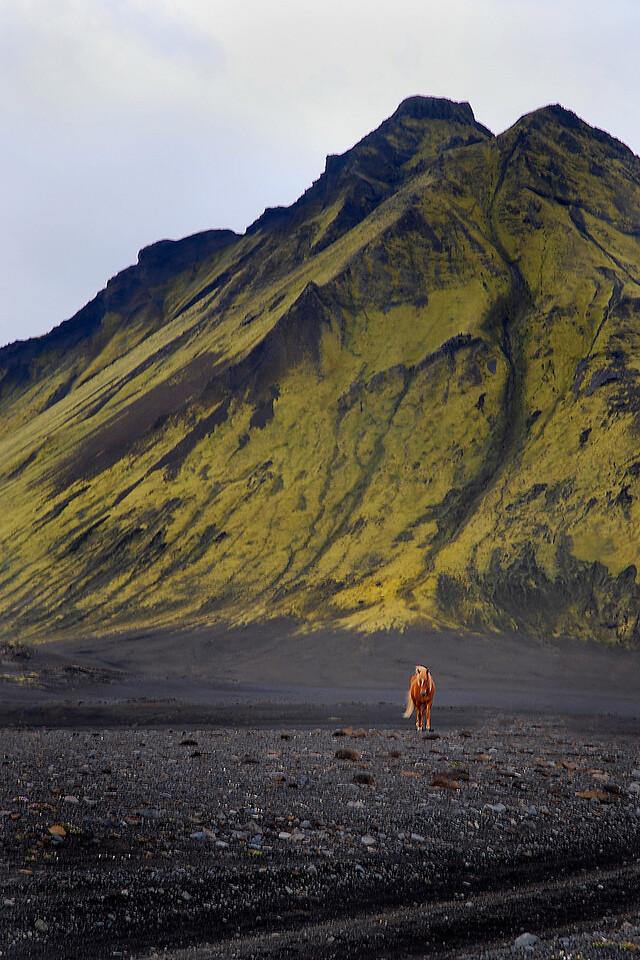 Single Icelandic pony countryside green mtaDSC_0667