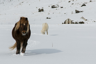 "Icelandic Horses in the snow. Coming to say ""hello"" and disappointed that I had no treats for them."