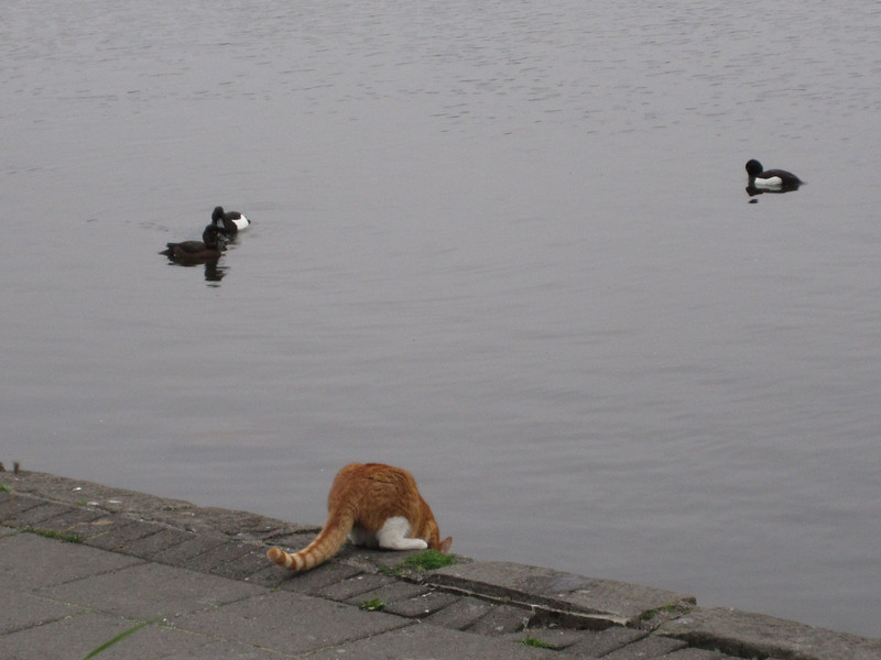 Kitty fishing (hunting) in the city lagoon.