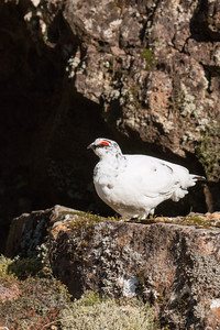 Thingvellir. Ptarmigan.