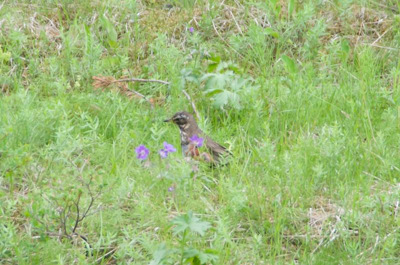 Pingvellir - Redwing (Thrush)