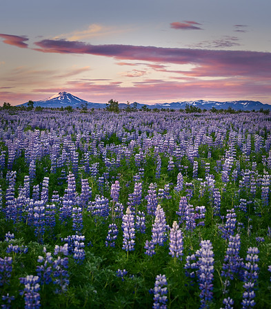 Lupines and Mount Hakla
