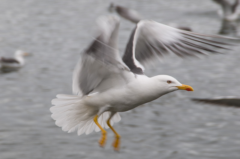 Lesser Black-backed Gull - Reykjavik