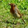 English Robin