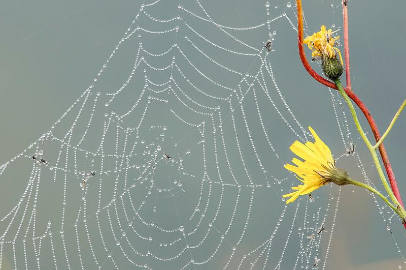 Mývatn Lake flies in a web / Mosquitas del Lago Mývatn en una tela de araña con rocío