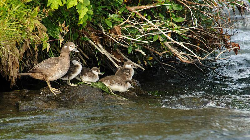 Harlequin Duck (<em>Histrionicus histrionicus</span></em>) /Pato arlequín