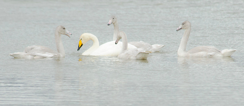 Whooper Swan, (<em>Cygnus cygnus</span></em>)/ Cisne cantor