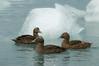 Eider ducks at Jökulsárlón/ Hembras de eider en Jökulsárlón
