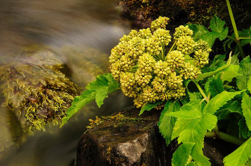 Angelica near a stream  (<em>Angelica archangelica</span></em>)/ Angélica cerca de un arroyo