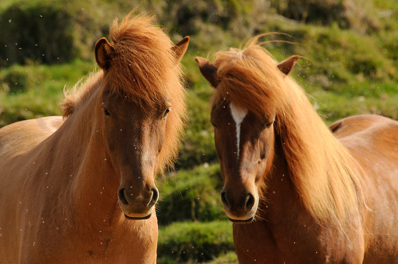 Icelandic horses at the Lake Mývatn area<br /> (Caballos mosqueados)