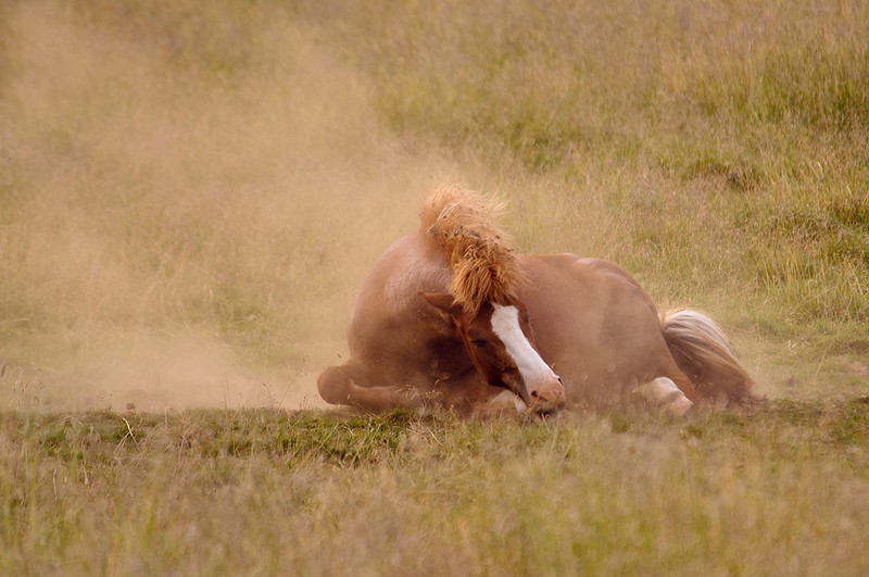Icelandic horse / Caballo islandés