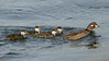 Harlequin Duck (<em>Histrionicus histrionicus</span></em>) /Pata arlequín con sus patitos