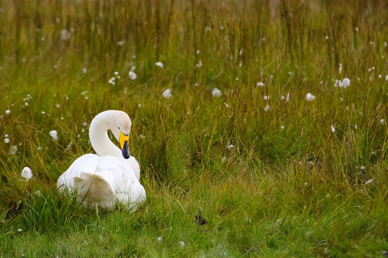 Whooper Swan in a cottongrass, (<em>Cygnus cygnus</span></em>)/ Cisne cantor