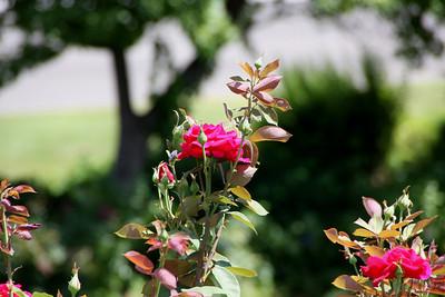 Roses in the Platt GArdens