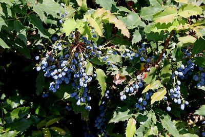Blueberry Bush in the Platt Gardens