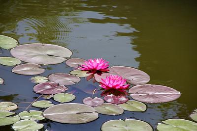 Water Lilies in the Platt Gardens - Koi Pond
