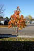 """Little"" Pear Tree displaying its Fall Colors"