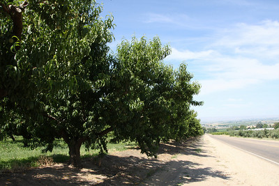 Apricot Trees at Ste. Chapelle Winery