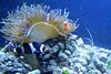 Anemone, Percula Clownfish, Black Ocellaris