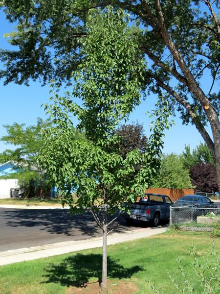 """Beautiful """"Little"""" Pear Tree"""