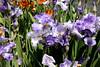 JoAnn's Iris Garden