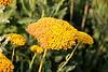 <b>Yarrow</b> <i>(Achillea millefolium)</i>