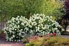 <b><i>Hydrangea paniculata</i> 'Limelight'</b>