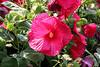 <b>Hardy Hibiscus</b> <i>(Hibiscus moscheutos)</i>