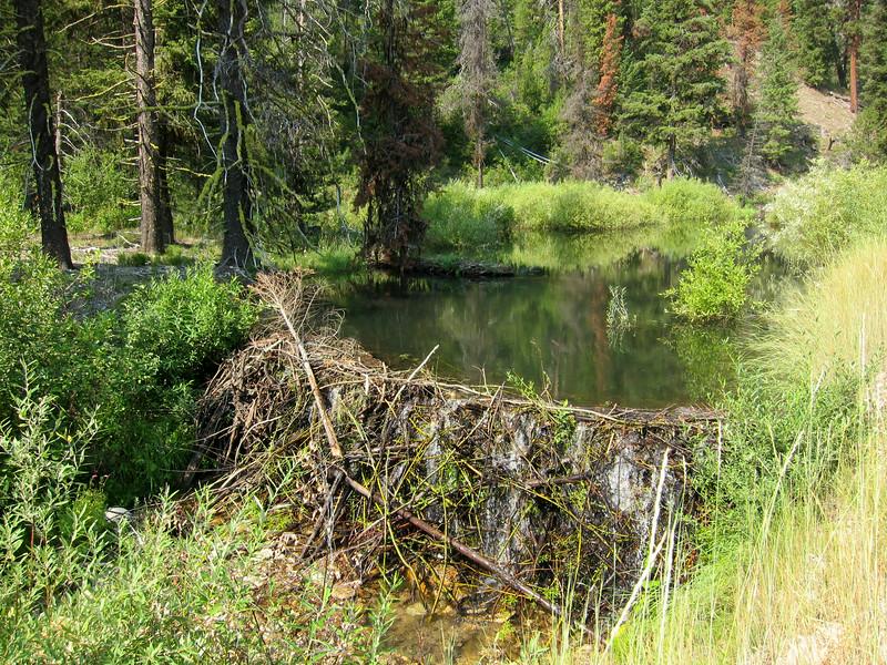 The tallest beaver dam I've ever seen.