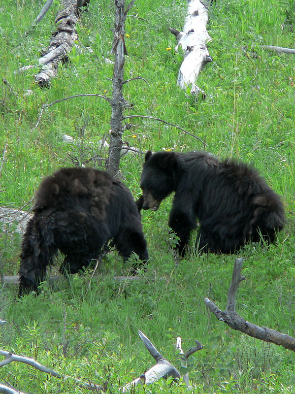 Young Black Bears playing in Yellowstone NP.