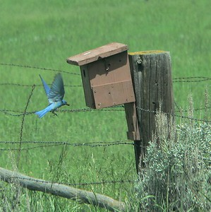Mountain Bluebird along Trail Creek Rd near Livingston, MT.