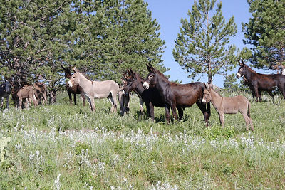 Wild Burros (they're actually quite tame and excellent beggars) in Custer SP, SD.