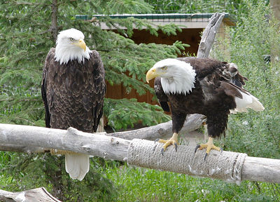 Bald Eagles at the Billings, MT Zoo.