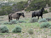 Wild Mustangs in the Pryor Mountain Wild Horse Range near the Bighorn Canyon Nat'l Rec Area.