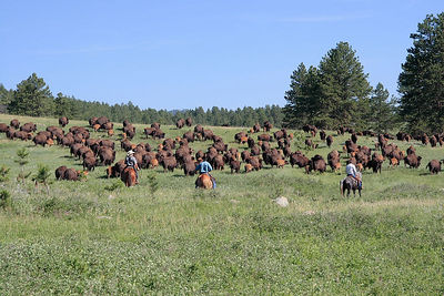 Moving the herd, Custer SP, SD.