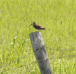 Common Snipe along the Lemhi River in ID.