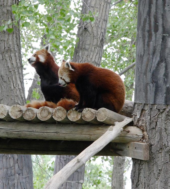 Red Pandas at the Billings, MT Zoo.