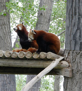Red Pandas at the Billings, MT Zoo.