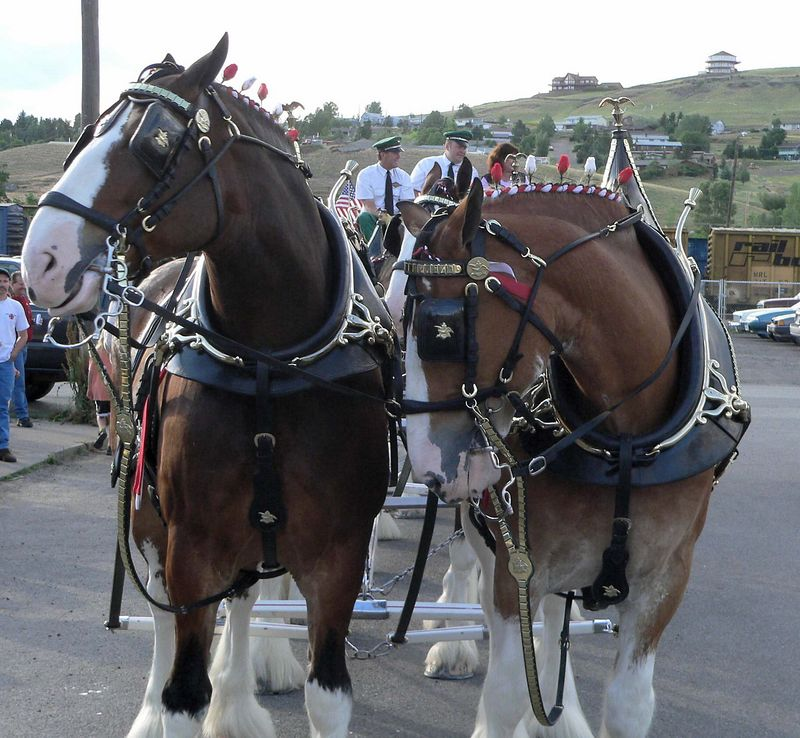 Camera Shy. The Clydesdales are in Livingston for the Rodeo (no they are not competing, they are here to sell beer).