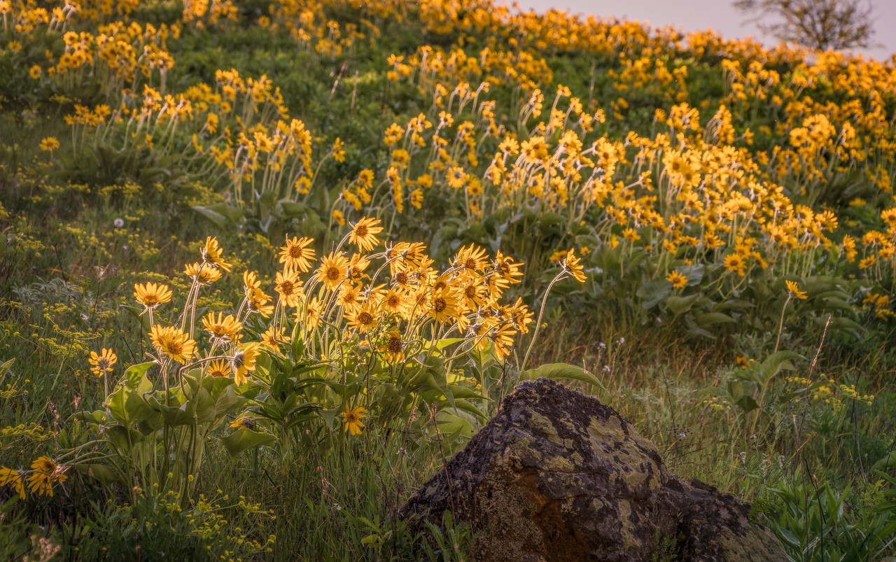 Idaho Wildflowers