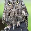 Screech Owl, World Center for Birds of Prey, Boise, ID