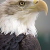 Bald Eagle, World Center for Birds of Prey, Boise, ID