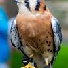 American Kestrel, World Center for Birds of Prey, Boise, ID