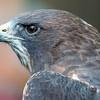Swainson's Hawk, World Center for Birds of Prey, Boise, ID