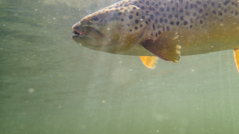 A nice big fat Silver Creek brown trout that took a large floating ant pattern.