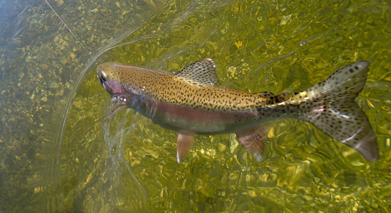 Nice healthy and strong Silver Creek rainbow trout