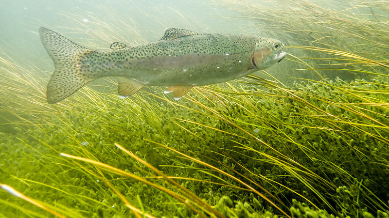 Silver Creek rainbow trout adjacent to the lush underwater vegetation in this amazing spring seek.