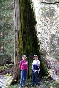 Ross Creek Cedar grove